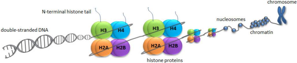 histones