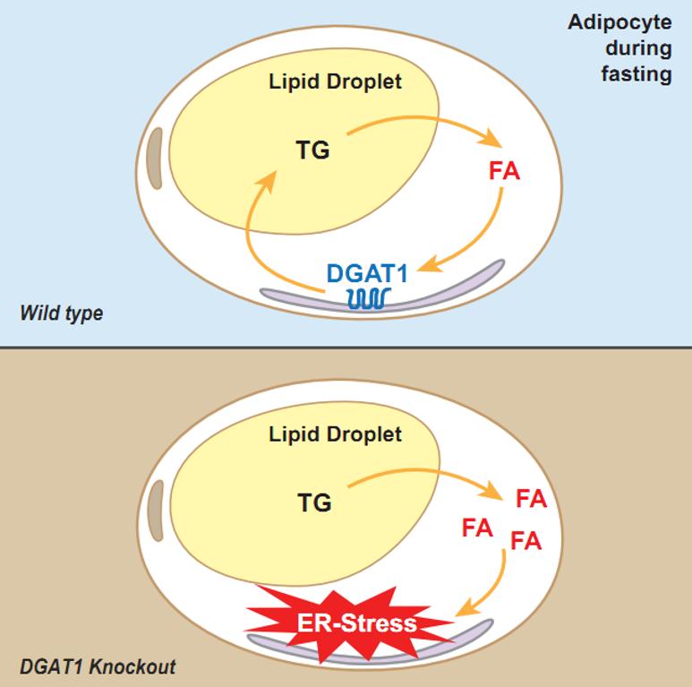 DGAT1