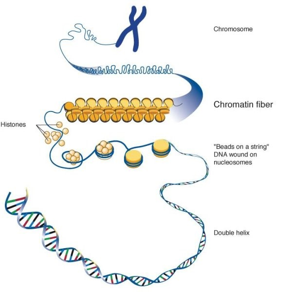 Diagram Of Chromatin : the structure and function of chromatin creative ~ A.2002-acura-tl-radio.info Haus und Dekorationen