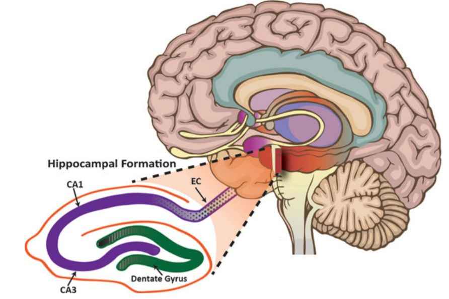 What is Hippocampus?
