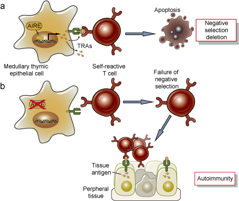 The function of AIRE in deletion of T cells in the thymus