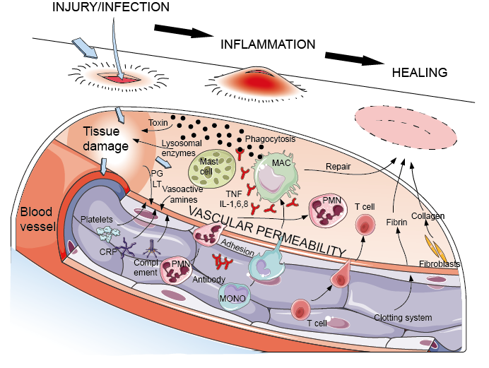 Cells and molecular which involved in acute inflammation