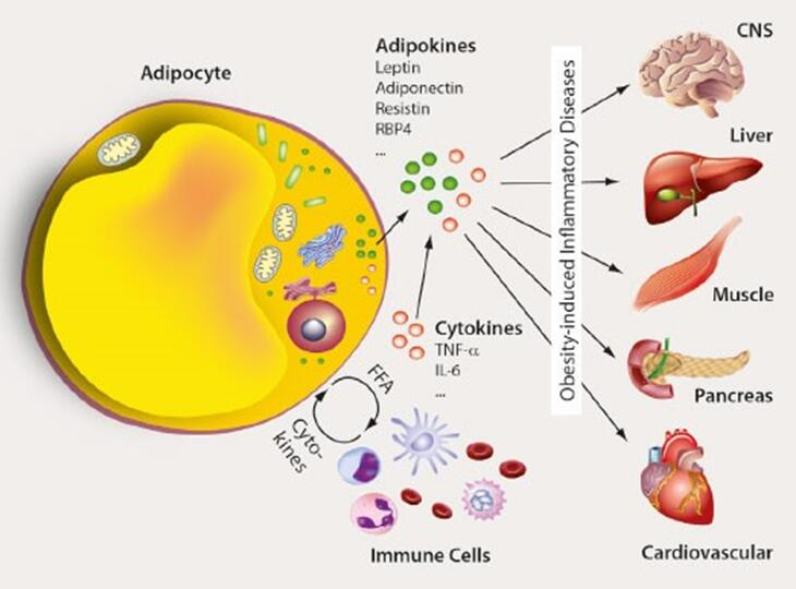 Schematic interaction between adipocytes and immune cells