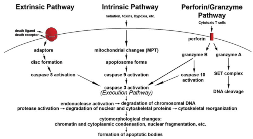 An overview of apoptosis execution pathway
