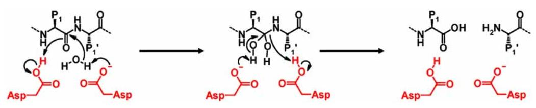 Mechanism of amide bond hydrolysis by aspartic proteases. Catalytic aspartic residues are shown in red. P1, substrate residue N-terminal of the scissile bond binding in the non-primed side; P1', substrate residue C-terminal of the scissile bond binding in the primed side of the protease.