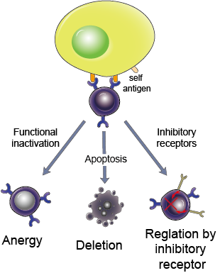 Peripheral tolerance in B cells