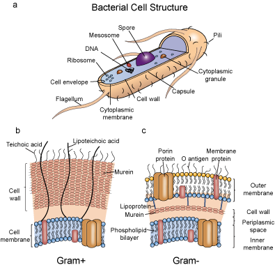 Bacterial cell structure (a), cell wall structure of Gram+ (b) and Gram- (c) bacterial
