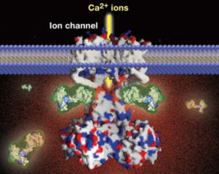The Ca2+-permeant ion channels