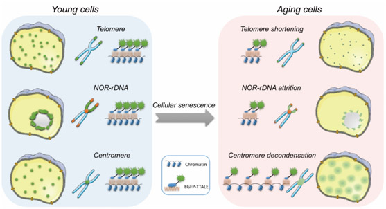 Structure changes of cell senescence