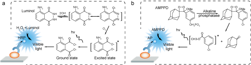 Mechanism of Luminol-HRP (a) and AMPPD-AP (b) chemiluminescence system