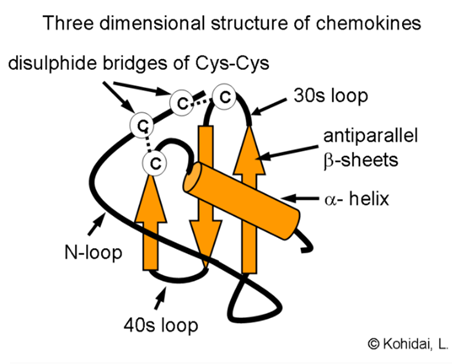 Typical structure of chemokines