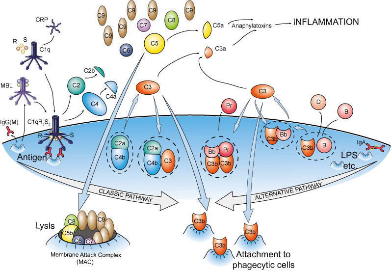 The molecules involved in complement system