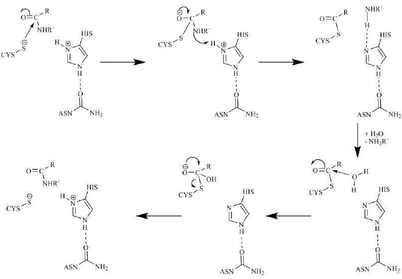 Schematic reaction mechanism of the cysteine protease mediated cleavage of a peptide bond.