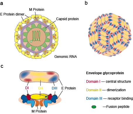 Structure of Dengue Virus particle