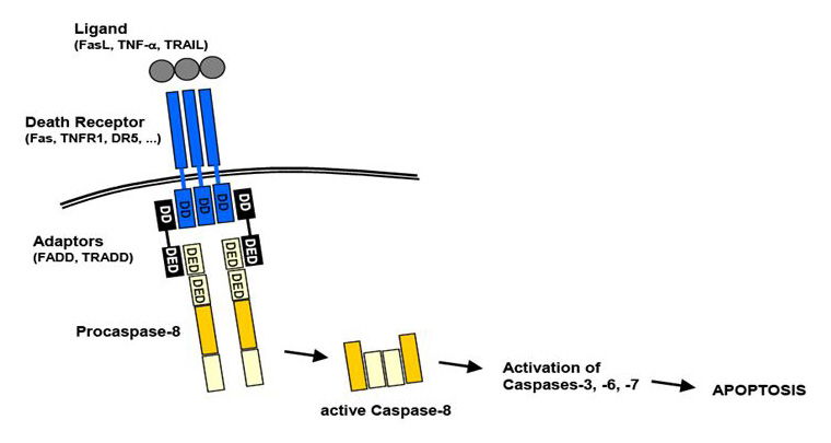 An overview of extrinsic apoptosis pathway