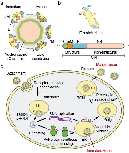Flavivirus particles (a), proteins (b) and life cycle (c)