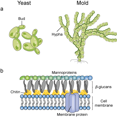 Fungi morphology and fungal membrane structure