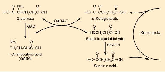 GABA shunt reactions are responsible for the synthesis, conservation and metabolism of GABA.