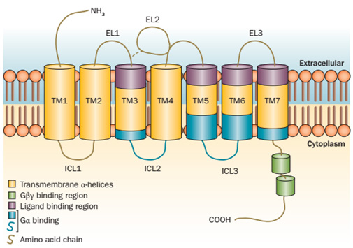 Schematic diagram of GPCR structure