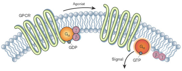 Activation of the G alpha subunit of a GPCR