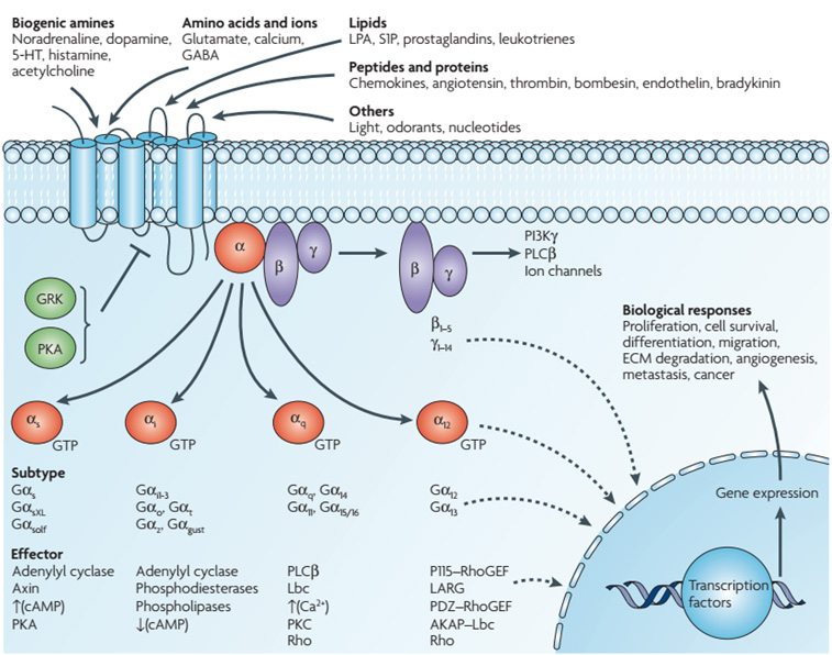 Diversity of G-protein-coupled receptor signaling