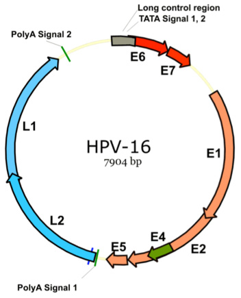 Genome Organization of Human HPV-16
