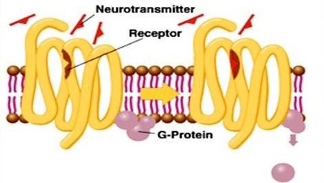 Diagram of metabotropic glutamate receptors