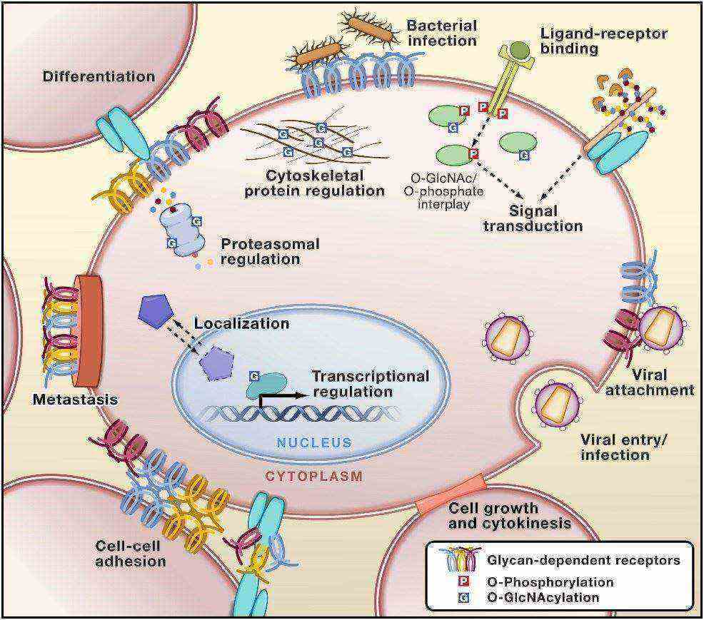 Glycans Permeate Cellular Biology.