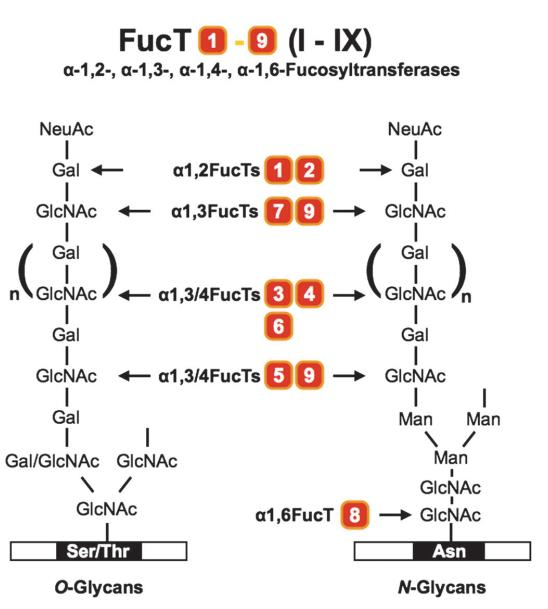 Fucosylation sites of human a-1, 2-, a-1, 3/ 4-, a-1, 6- and O-FucTs. FucTs I–IX (or FucTs 1–9) catalyze the fucosyl transfer to different sugar residues of O-glycans and N-glycans, as indicated by the arrows.