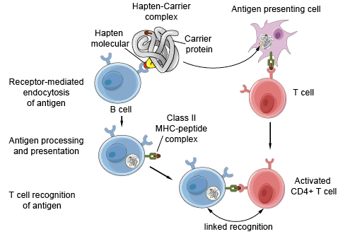 Antigen presentation on B cells to helper T cells.