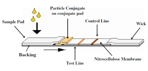 Typical layout of a lateral flow test strip