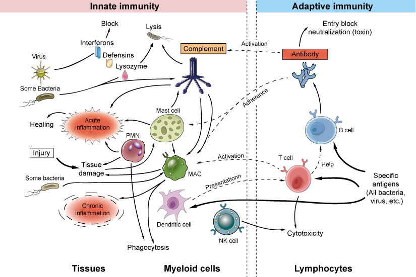 Innate and adaptive immune mechanisms