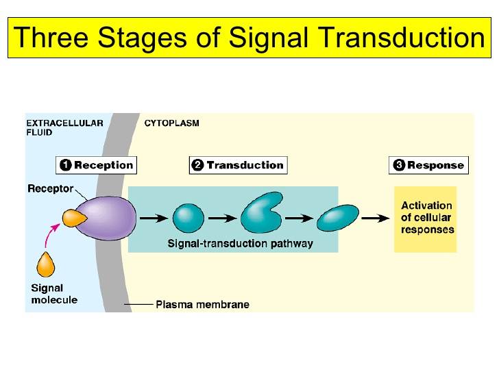 Three stages of signal transduction