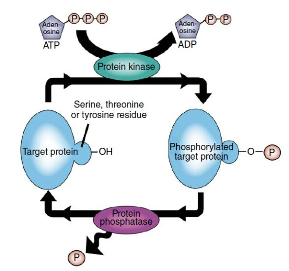 Intracellular Kinases and Signal Transduction