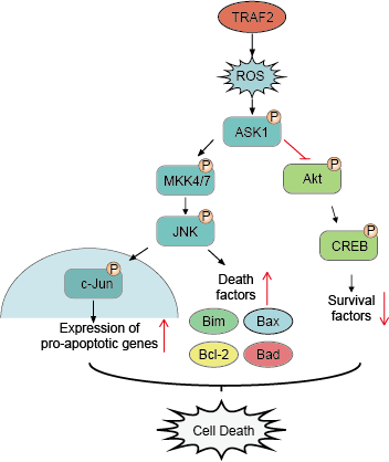 Downstream signaling of JNK pathway