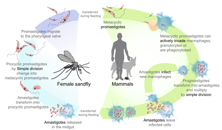 Leishmania Antigens