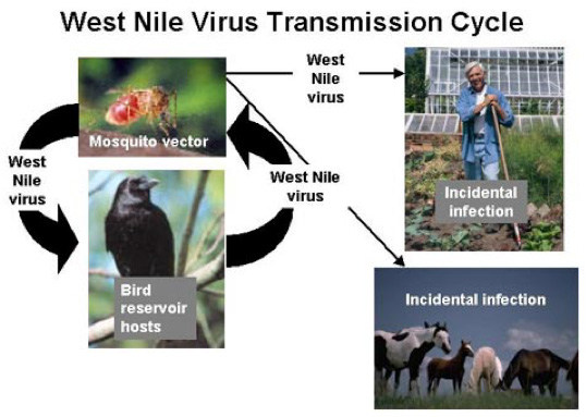 Life Cycle of West Nile Virus