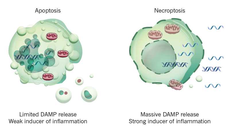 Different morphological features of apoptosis and necroptosis