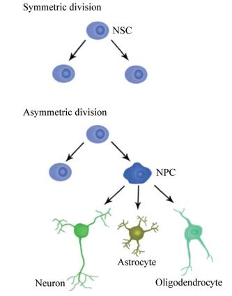 The division pattern of neural stem cells