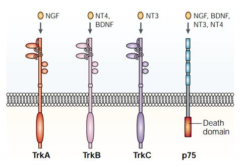 Neurotrophin Signaling Pathway