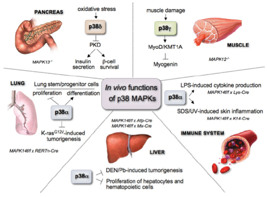 In vivo functions of p38 MAPKs