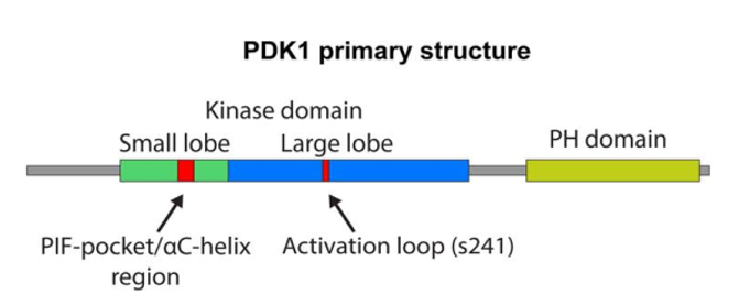 PDK-1 primary structure