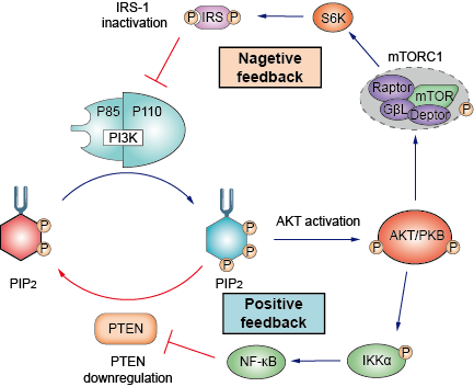 The positive and negative feedback mechanism of PI3K-AKT pathway