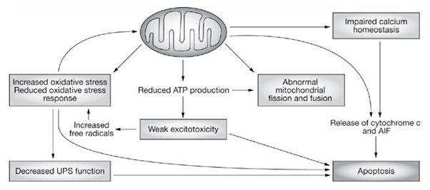 Mitochondrial dysfunction affects diverse cellular processes that can culminate in cell death