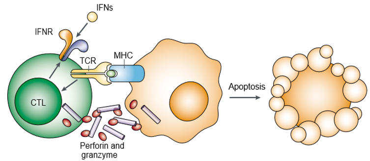 Perforin and granzyme induce target-cell apoptosis cooperatively