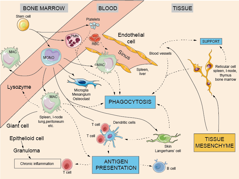 Phagocytic cells and the reticuloendothelial system