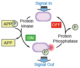 Protein phosphorylation is a very common means of regulating protein activity