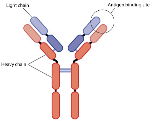 The structure of the antibody