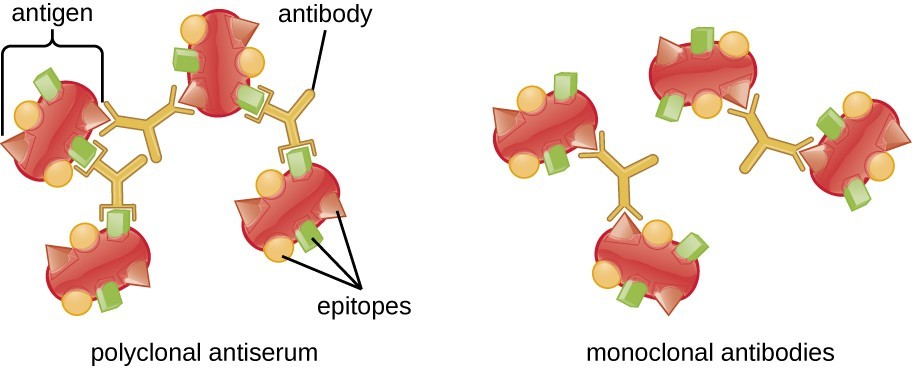 The specificity of polyclonal antibodies and monoclonal antibodies