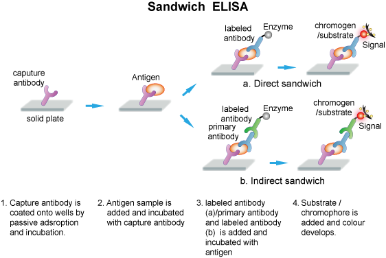 competitive elisa assay protocol Competitive elisa day 1 1 coat nunc immuno-module plates overnight, in usual manner 2 set up competition assay between antibody and competing substance :-.